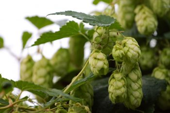 Noble Hops – Everything You Need to Know
