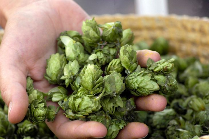 The Complete Guide to Growing Hops_Sound Brewery